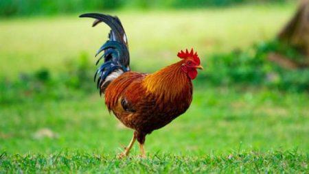 Mơ thấy gà đánh số bao nhiêu? Là điềm lành hay dữ?