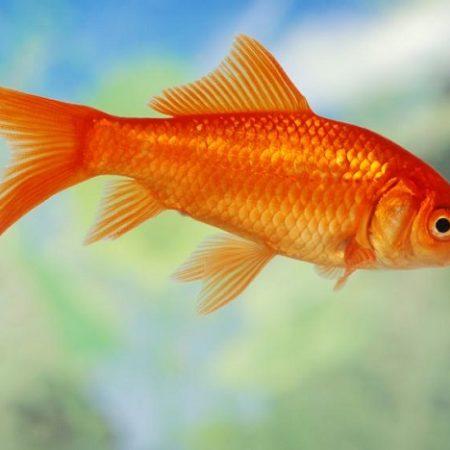 Mơ thấy cá chép vàng, trắng, đỏ, đen đánh con gì? Hên hay xui?
