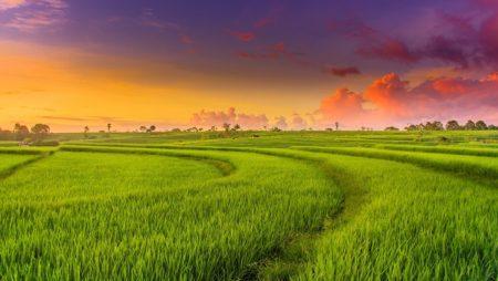 Giấc mơ thấy cánh đồng lúa báo hiệu điềm gì? Đánh đề số mấy?