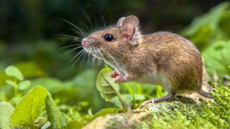 Giấc mơ thấy chuột báo hiệu điềm gì? Đánh đề con gì?