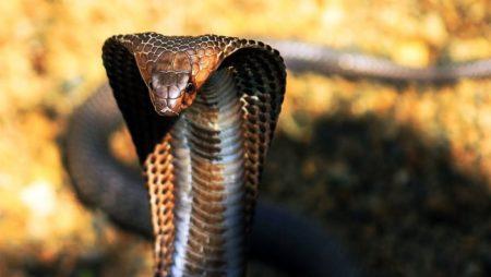 Nằm mơ thấy rắn hổ mang đánh con gì? Là điềm báo gì?